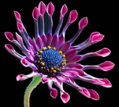 AFRICAN DAISY  -  by  Jon Sulivan