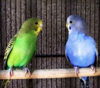 Green and blue birds