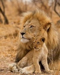 Daddy  lion babysitting  very  cute ..