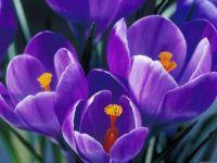 spring-tulip-4