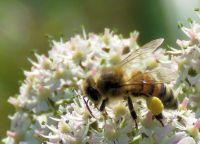 honeybee, laden with pollen