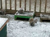 snowy squirrels