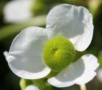 Wapato Flower