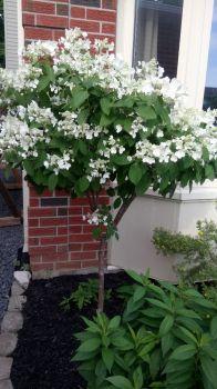 Daughter-in-laws hydrangea tree
