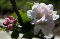 Bramley's Seedling blossoms 2