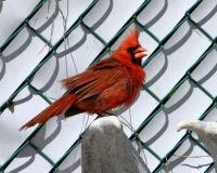 Cardinal watching me watching him!