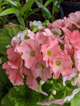 German Primrose (Primula obconica)