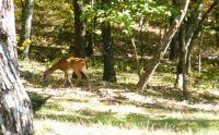 mountian deer