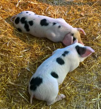 Two tired piglets.