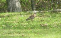 Is this a hawk?  If so, what kind?