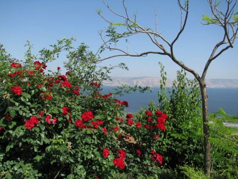 Blood red rose bushes over-looking the Sea of Galilee, Israel