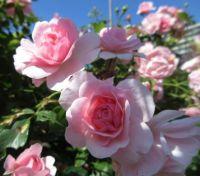 My Bonica Rose (8 July 2021)