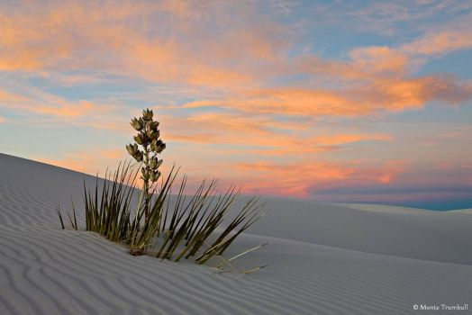 Lone Yucca at Dusk - Monte Trumbull