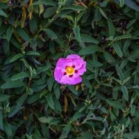 Orchid Rockrose