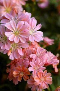 Květy růžové barvy