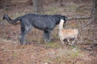 Olibhe (Irish Wolfhound) and George.