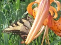 lily  & butterfly
