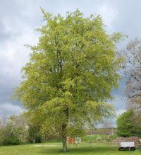 mit bøgetræ
