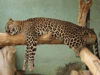 Leopard Cat Nap