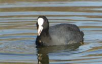 A coot searching for it's lunch