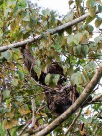 peru june 2017 (8) sloth