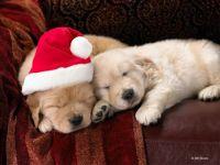 Christmas Puppy Love