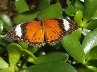 Orange Lacewing (Centosia penthesiles)