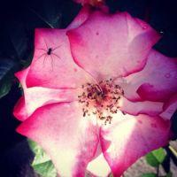 Roses at Washington Park, Portland Or