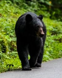 Black Bear, Cades Cove, Great Smoky Mountains