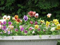 small pansy window box