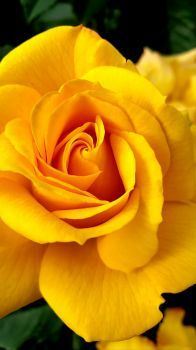 Yellow Rose in Cologne