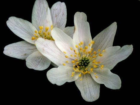 Wood Anemone - 29th Mar 2004