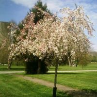 My Crabapple Tree For Arbor Day