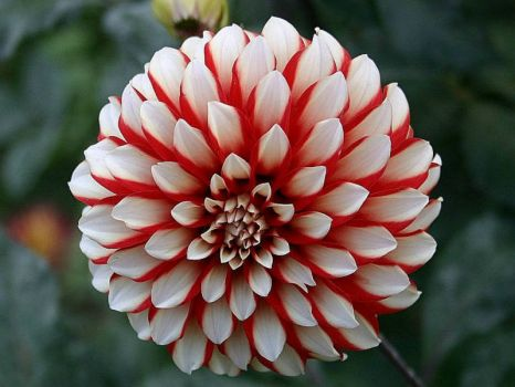 Red And White Dahlia....