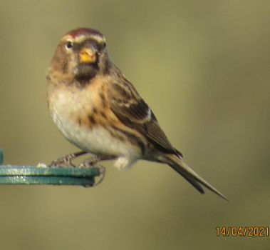 The Redpoll at breakfast.