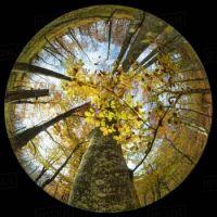 beech ball #3 autumn