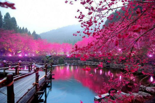 Cherry Blossom Lake (Sakura, Japan)