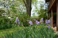Backyard with Iris beds