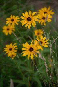 Black-eyed Susans along the Blue Ridge Parkway in Virginia, July 3, 2021