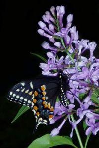 2  Black Sweallowtail Evening