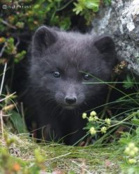Baby Arctic Fox in Iceland
