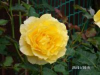 Bunny Gold Rose