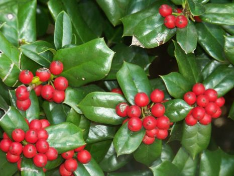 Holly Red Berrys