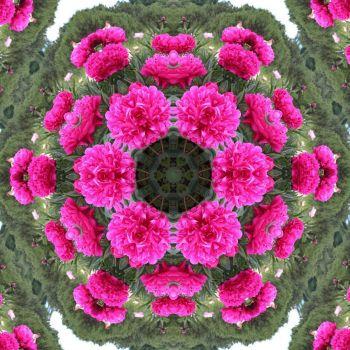 kaleidoscope 75 peonies very large