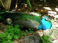 waimea bay peacock