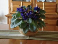 Mona's African violet