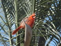 Baby male Cardinal in our palm tree
