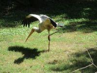 Dancing stork