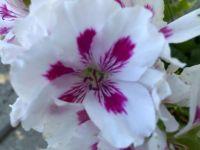 Geranium Closeup