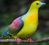 Wedge-tailed Green-pigeon